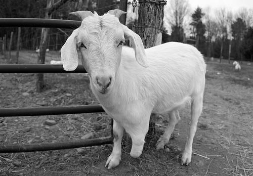 Economy Takes Toll On Farm Animals