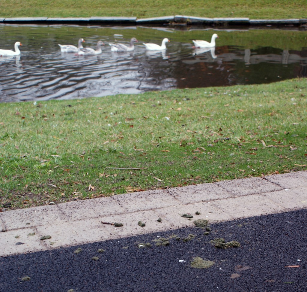 Geese, ducks and swans have caused contamination problems to the gunk and surrounding pathways on the SUNY New Paltz Campus. File photo by James Leggate.