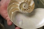 Nautilus shell, a modern shellfish. Photo by Khynna Kuprian.