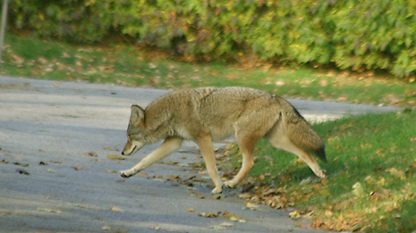 Local Coyotes Cause Concern