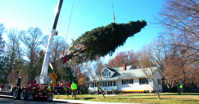 The tree looms over the home of Alfred Asendorf and Nancy Puchalski on Route 44 55 in Gardiner after being cut down. Photo by Kristen Warfield.