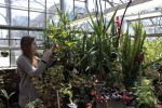 Annie Courtens, a second-year sociology major, tends to potted plants in New Paltz's greenhouse. Photo by Zach McGrath