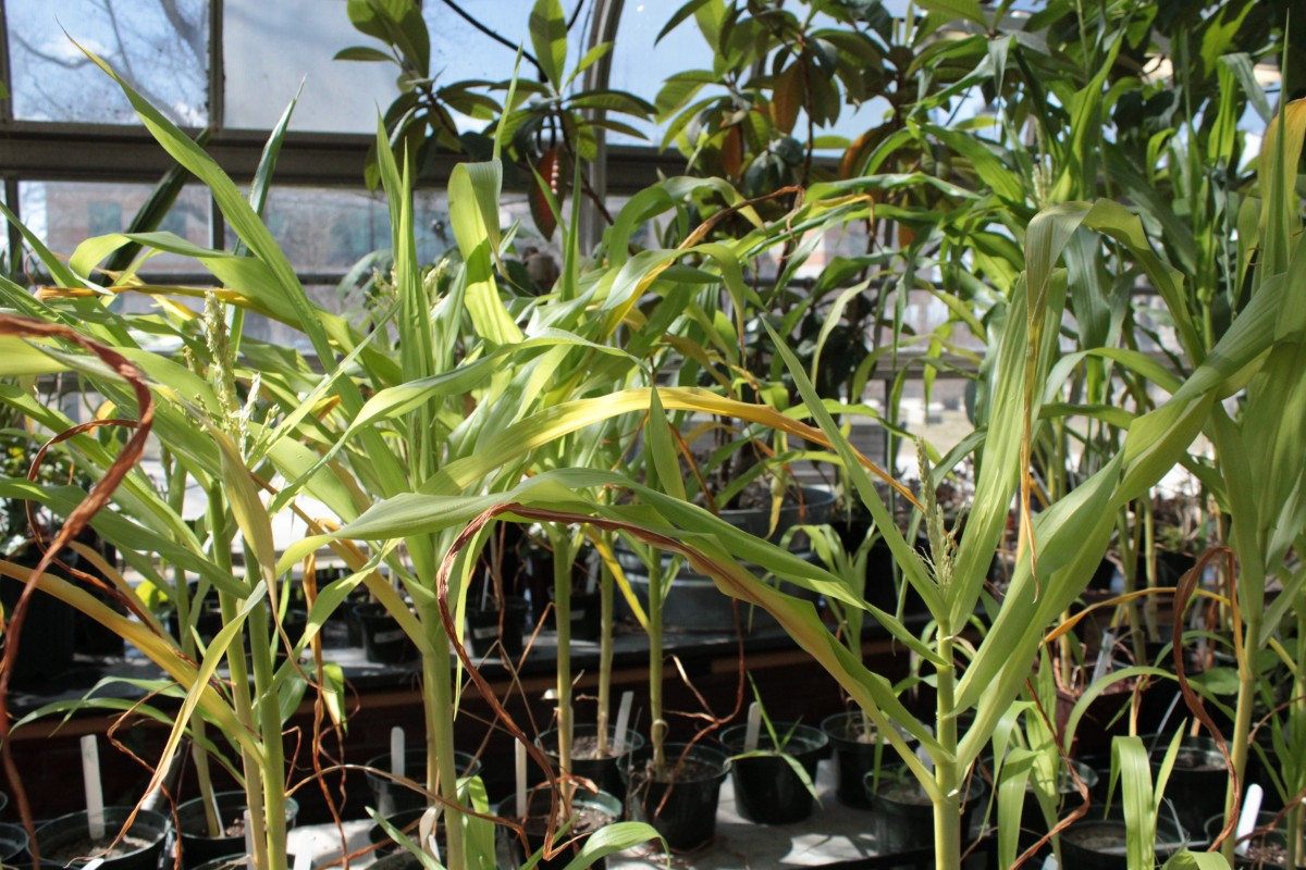 Corn is also a hearty grower in the greenhouse. Photo by Zach McGrath